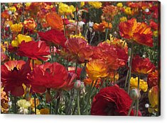 California Riches Acrylic Print by Jean Booth