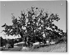 California Roadside Tree - Black And White Acrylic Print