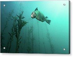 California Sea Lion In Kelp Acrylic Print by Steven Trainoff Ph.D.