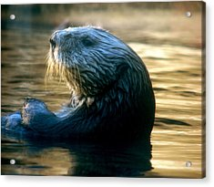 California Sea Otter Acrylic Print by Jan Cipolla