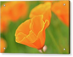 California Spring Poppy Macro Close Up Acrylic Print