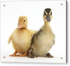 Call Duckling And Mallard Duckling Acrylic Print by Mark Taylor