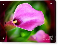 Calla Lilly Acrylic Print by Kathleen Struckle