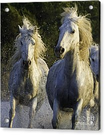 Camargue Spray Acrylic Print by Carol Walker