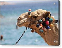 Camel By The Sea Acrylic Print by Tawfik W Dajani