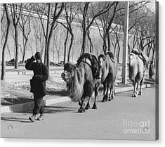 Camel Caravan, China 1957 Acrylic Print by The Harrington Collection