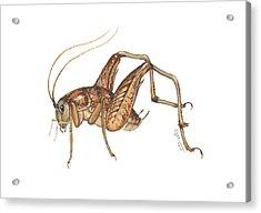 Camel Cricket Acrylic Print