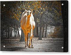 Camel Acrylic Print by Douglas Barnard