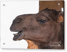 Camel Face Acrylic Print by Jim Wright