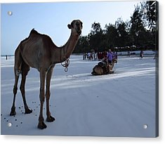 Camel On Beach Kenya Wedding 6 Acrylic Print