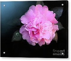 Camelia Acrylic Print by Robert Foster