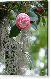 Camellia And Moss Acrylic Print by Jeanne  Woods