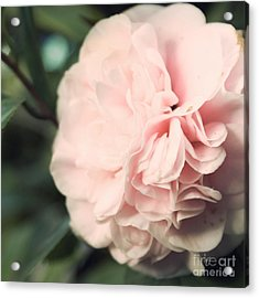 Camellia Acrylic Print by Cindy Garber Iverson