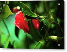 Camellia Dream Acrylic Print by Rebecca Sherman