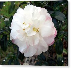 Acrylic Print featuring the photograph Camellia by Frederic Kohli