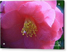 Camellia Japonica Acrylic Print by Louise Heusinkveld