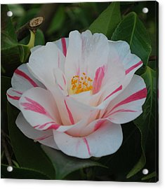 Camellia Acrylic Print by Linda Sramek