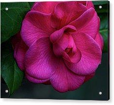 Camellia Passion Acrylic Print