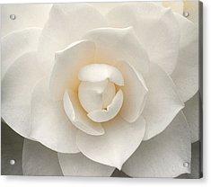 Camellia Perfection Acrylic Print