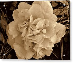 Camellia Sepia Acrylic Print by Susanne Van Hulst