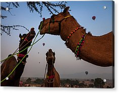 Camels And Balloons Acrylic Print