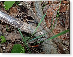 Camouflage And Mimicry Of The Woodcock Chick Acrylic Print