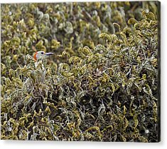 Camouflaged Red-bellied Woodpecker Acrylic Print by Carolyn Marshall