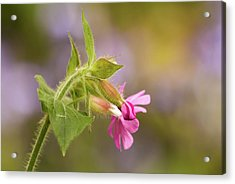 Campion And Blue Acrylic Print