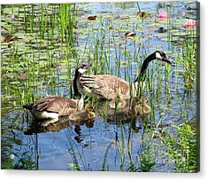 Acrylic Print featuring the photograph Canada Geese Family On Lily Pond by Rose Santuci-Sofranko
