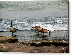 Acrylic Print featuring the photograph Canada Geese Feeding by Kathleen Stephens