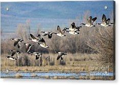 Canada  Geese Flock Acrylic Print by Mike Dawson