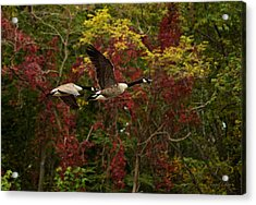 Acrylic Print featuring the photograph Canada Geese In Autumn by Angel Cher