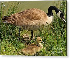 Canada Geese Parent And Child  Acrylic Print by Merrimon Crawford