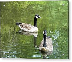 Canada Goose Duo Acrylic Print by Al Powell Photography USA