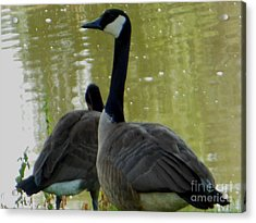Canada Goose Edge Of Pond Acrylic Print