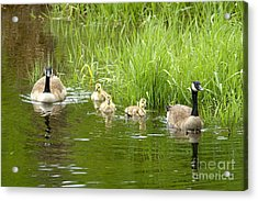 Canada Goose Family 2 Acrylic Print by Sharon Talson