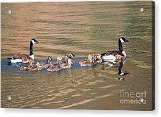 Canada Goose Family Acrylic Print