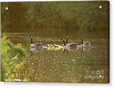 Canada Goose Geese Family - Branta Canadensis - With Goslings On A Acrylic Print