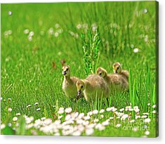 Acrylic Print featuring the photograph Canada Goose Goslings In A Field Of Daisies by Sharon Talson