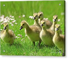 Acrylic Print featuring the photograph Canada Goose Goslings by Sharon Talson