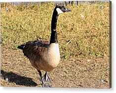 Acrylic Print featuring the photograph Canada Goose On A Stroll by Sheila Brown