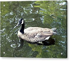 Canada Goose Pose Acrylic Print by Al Powell Photography USA