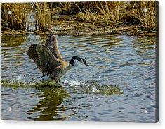 Canada Goose Takes Flight, Frank Lake, Alberta, Canada Acrylic Print