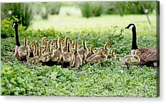 Acrylic Print featuring the photograph Canada Gosling Daycare by Rona Black