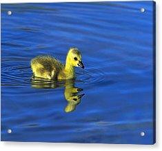Canada Gosling Goes For A Swim Acrylic Print