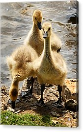 Acrylic Print featuring the photograph Canada Goslings by Kathleen Stephens