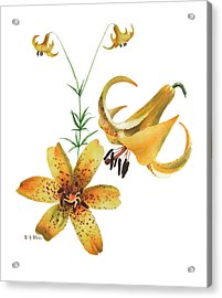 Canada Lily Composition Acrylic Print
