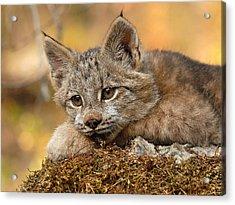 Canada Lynx Kitten 3 Acrylic Print by Wade Aiken