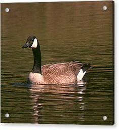 Acrylic Print featuring the photograph Canadian Goose by Bonnie Muir