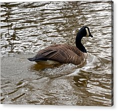 Canadian Goose Acrylic Print by Eva Thomas